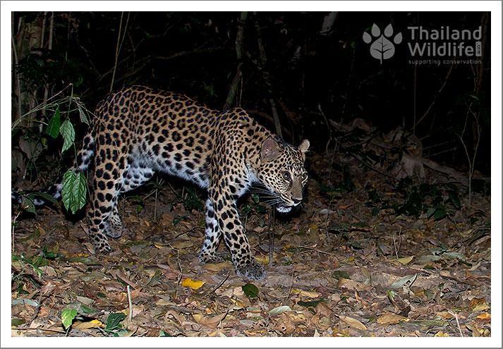A leapard in Kaeng Krachan