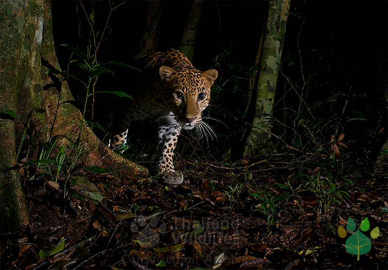 The Indochinese Leopard
