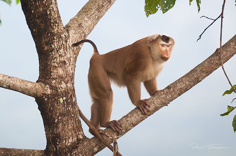 Pig tailed macaque 2
