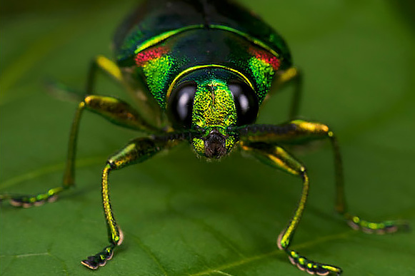 aa green jewel beetle