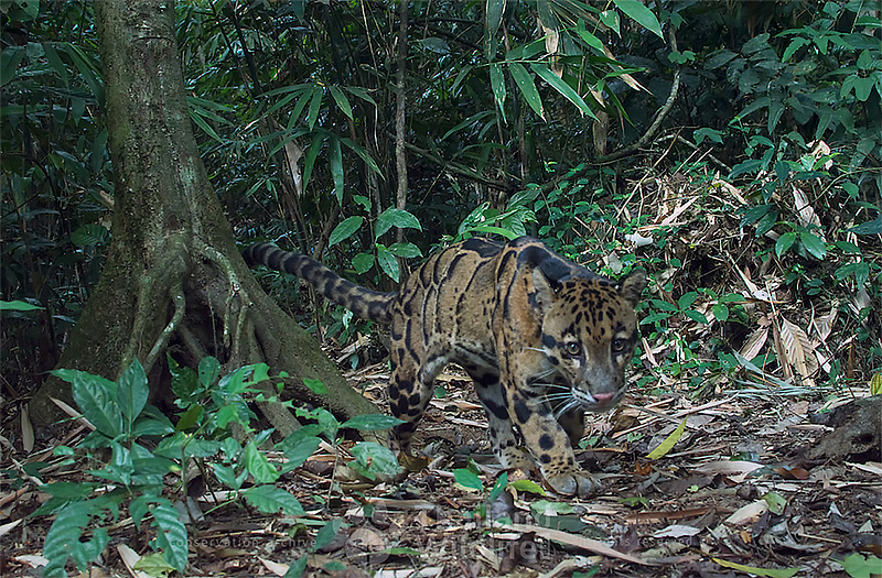 clouded leopard thailand