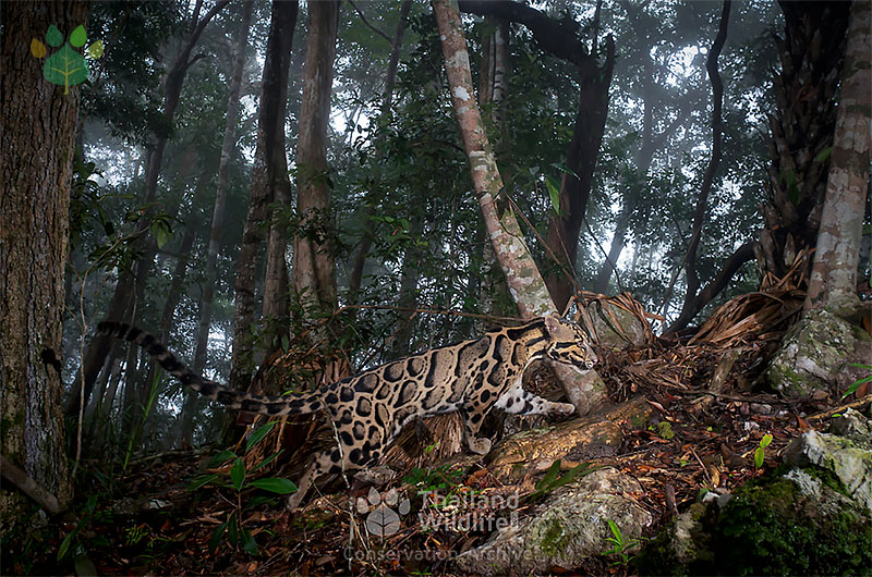 clouded leopard in clouds