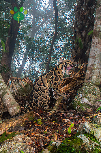 Clouded leopard with mouth open