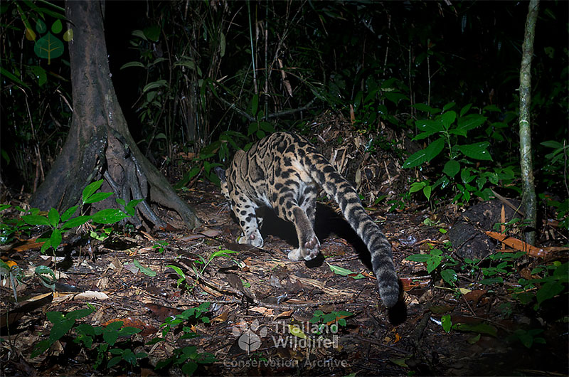 clouded leopard rear