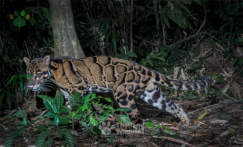 clouded leopard side view