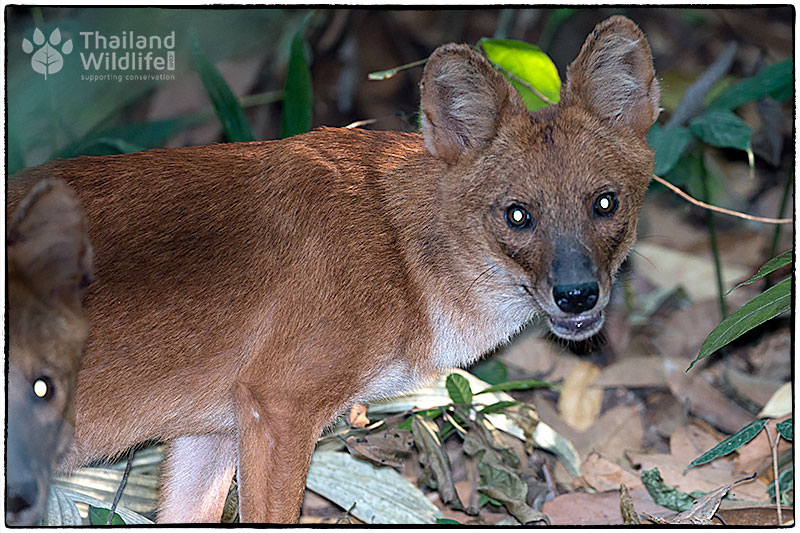 asiatic wild dog or dhole