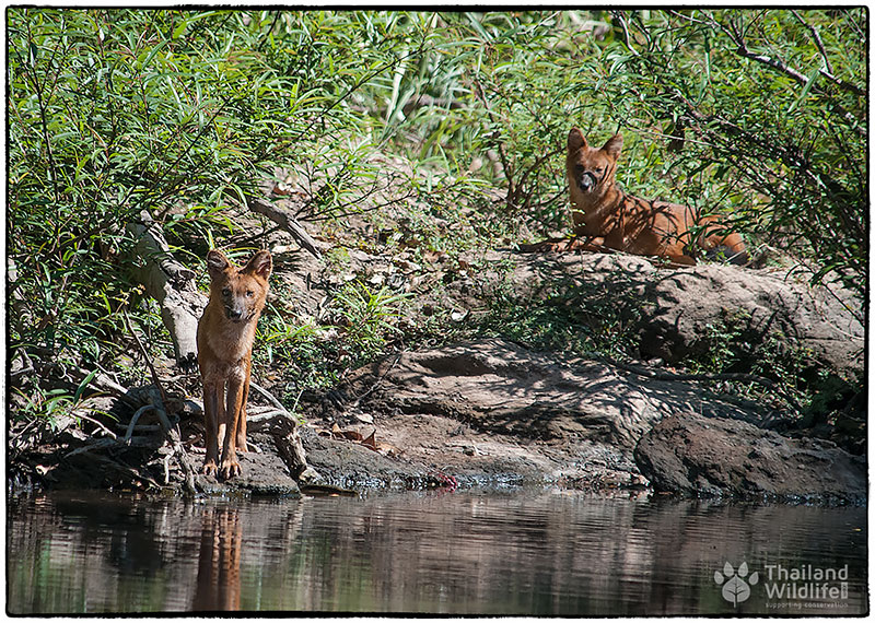 asian dhole khao yai