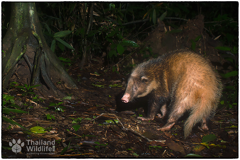 hog badger keang krachan