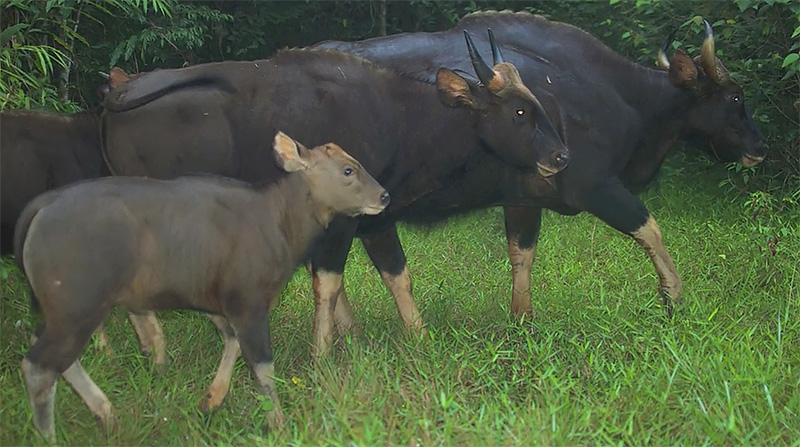 gaur children