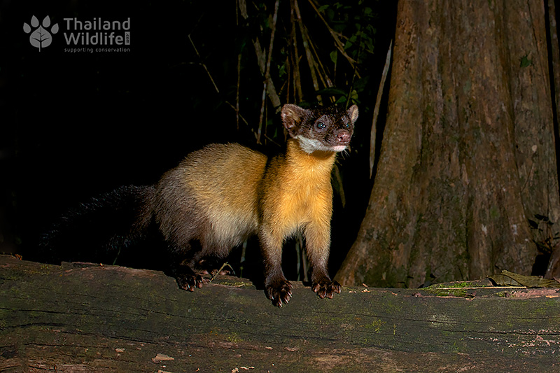Yellow throated marten Martes flavigula 2