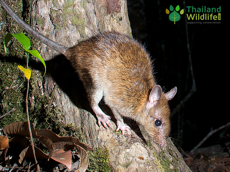 long-tailed-rat