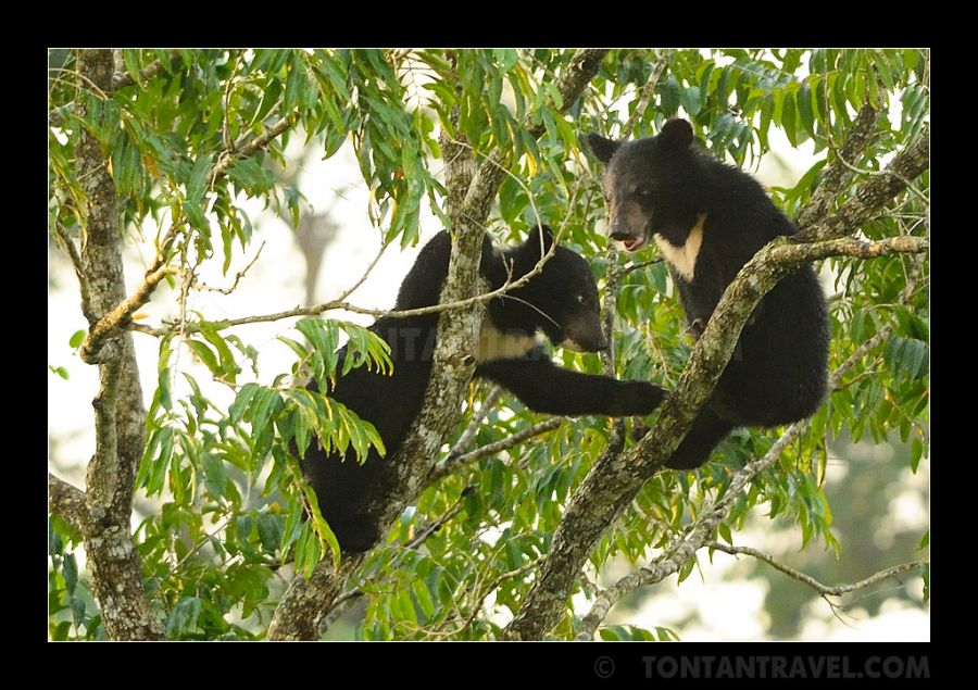 Picture of the Month - Bear cubs in tree