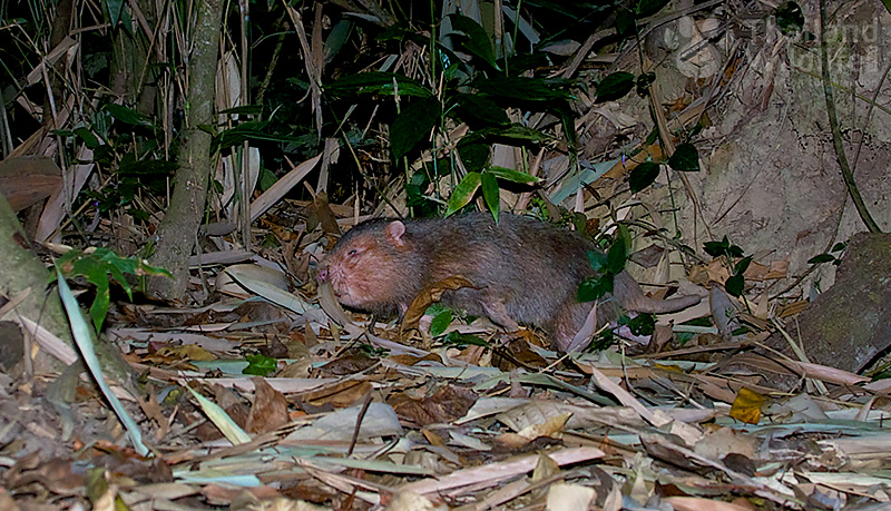 The hoary bamboo rat (Rhizomys pruinosus)