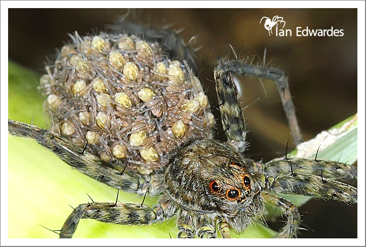 wolf spider with young brood on back