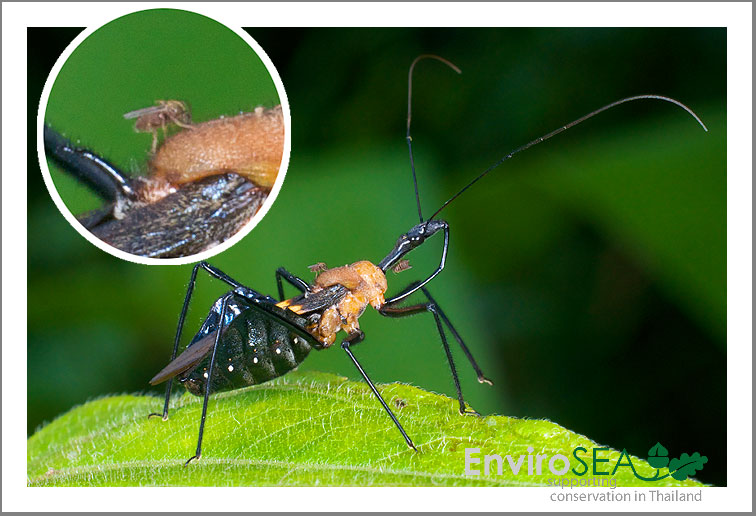 Photo of Assassin Bug