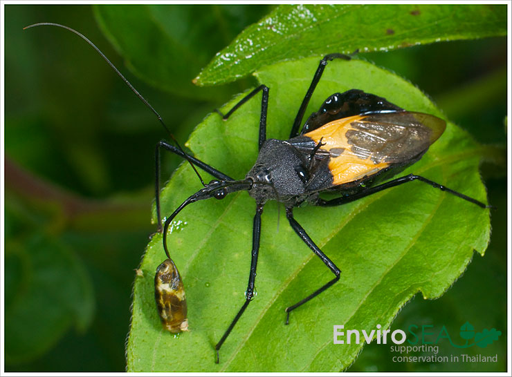 Photo of Assassin Bug feeding
