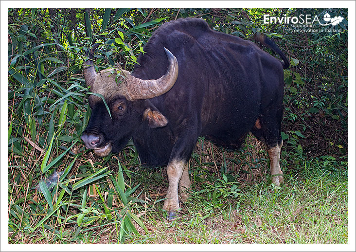Photo of Gaur in Thailand