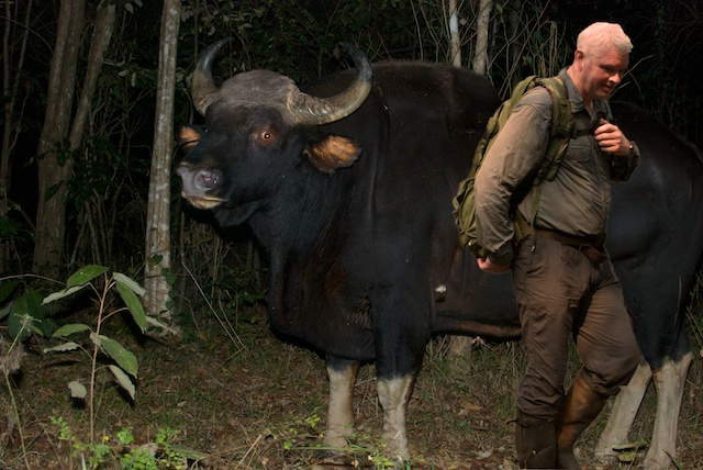 how big is a gaur