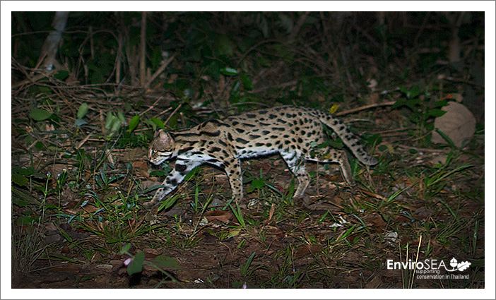 Photo of a Leopard cat in Thailand