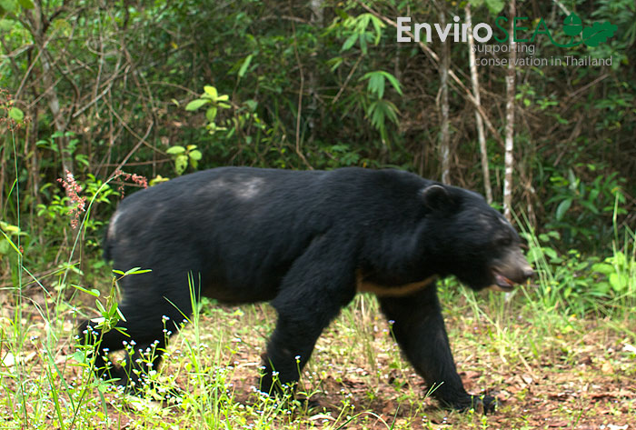 Photo of a Moon Bear