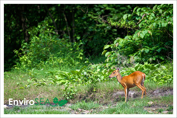 Photo of Barking deer