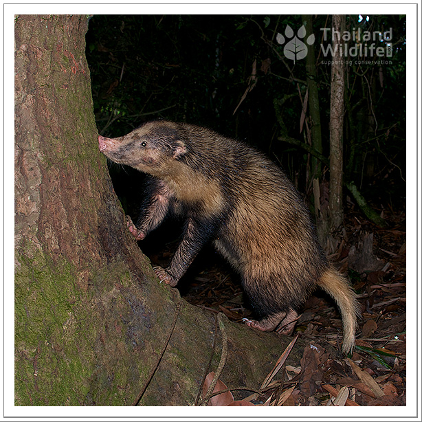hog badger in Kaeng Krachan National Park