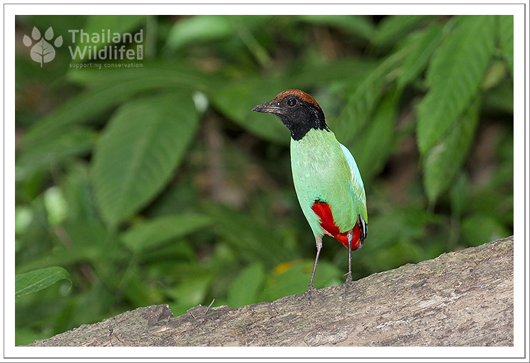hooded-pitta-2