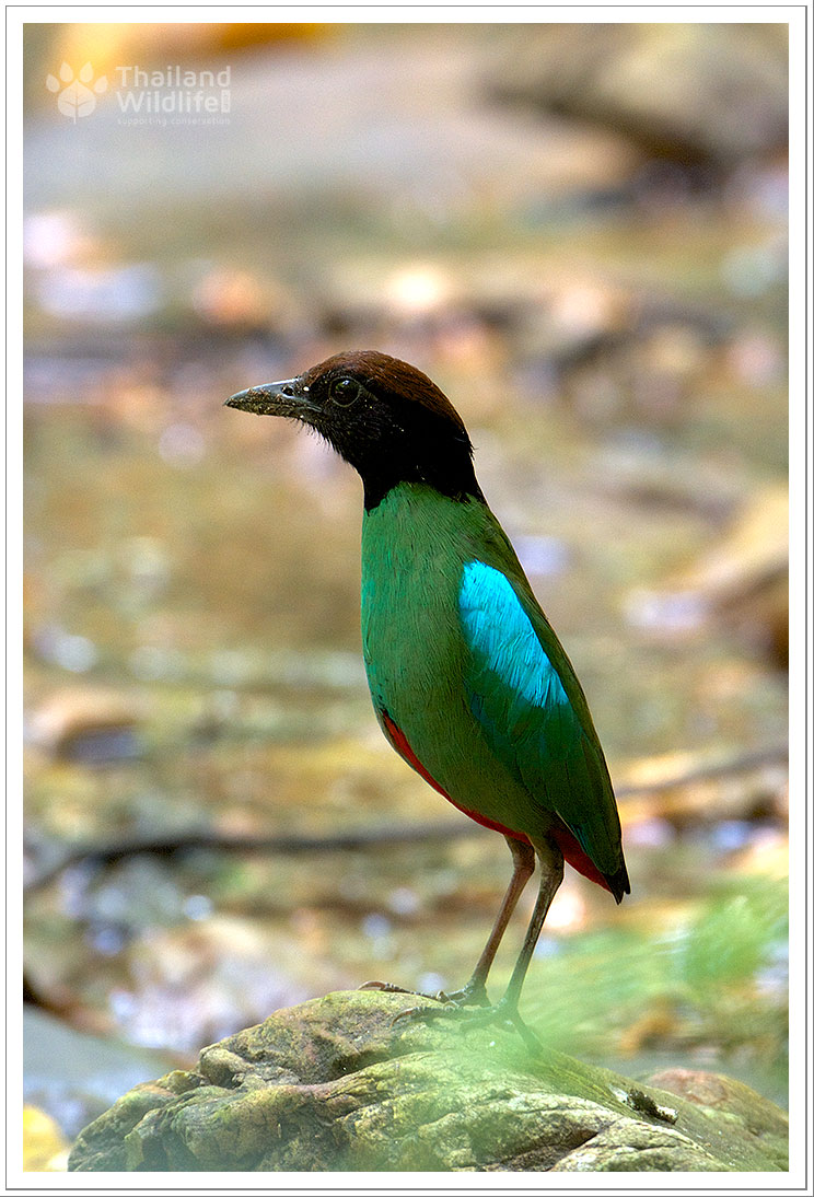 hooded-pitta