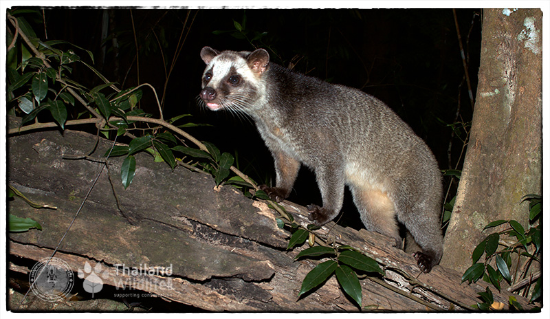 masked palm civet or gem-faced civet (Paguma larvata)