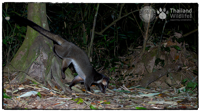 masked palm civet or gem-faced civet (Paguma larvata) Kaeng Krachan National Park