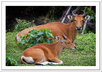 Picture of the Month - Banteng at rest