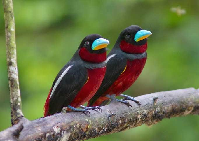 Picture of the Month - Broadbill pair