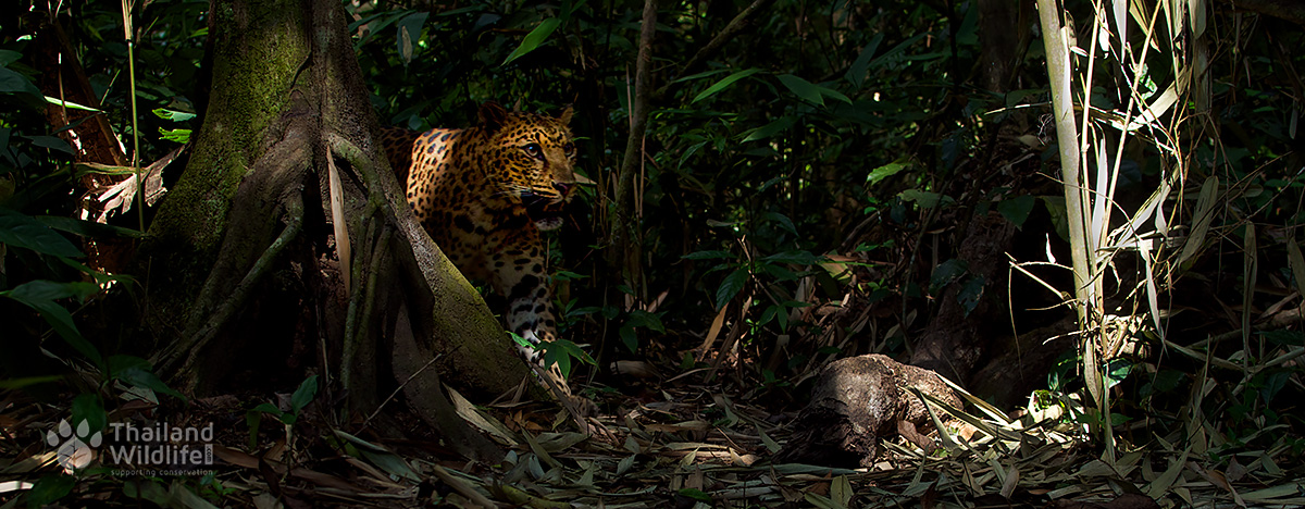 A male Thai Leopard