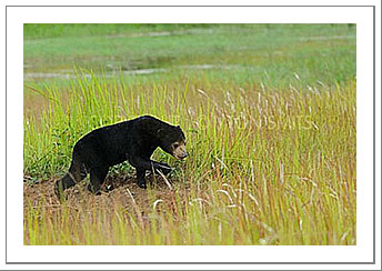 Picture of the Month - Sun Bear walking
