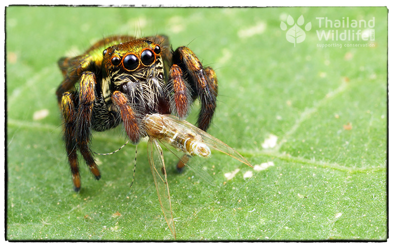 A jumping spider catches a meal