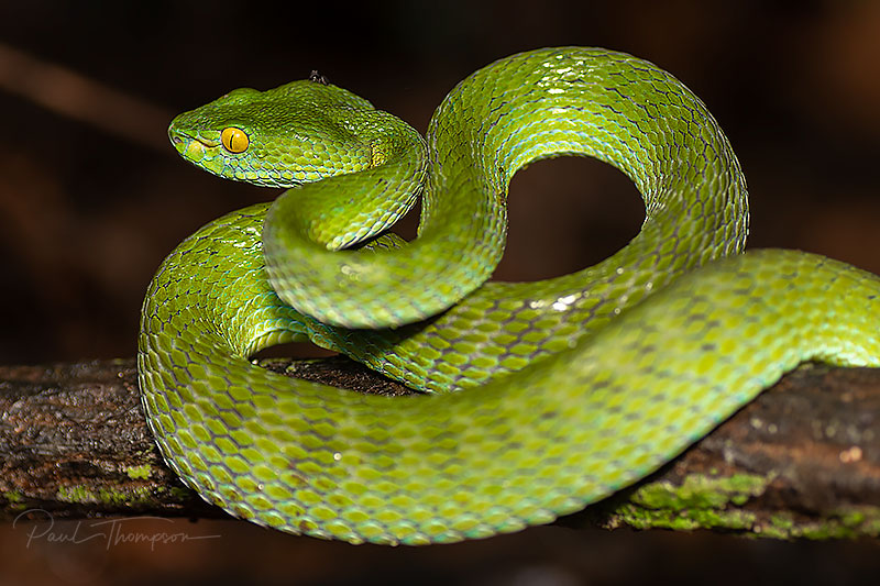 white lipped viper