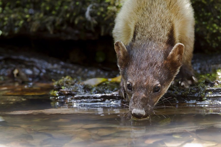 Yellow-throatedMarten01a.jpg