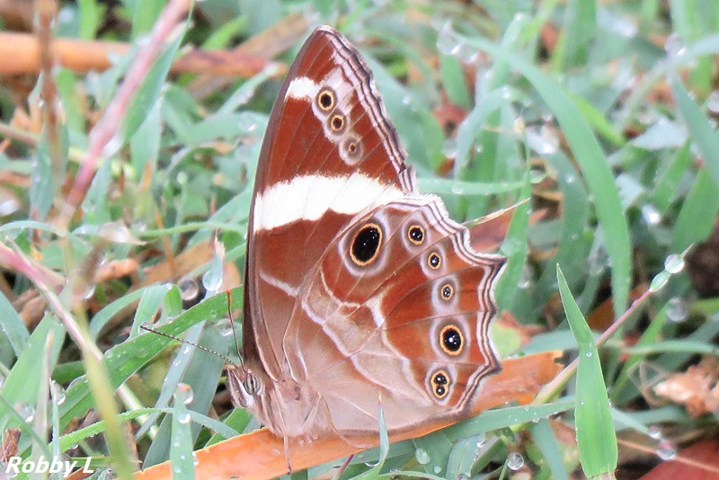 Banded Tree Brown.JPG
