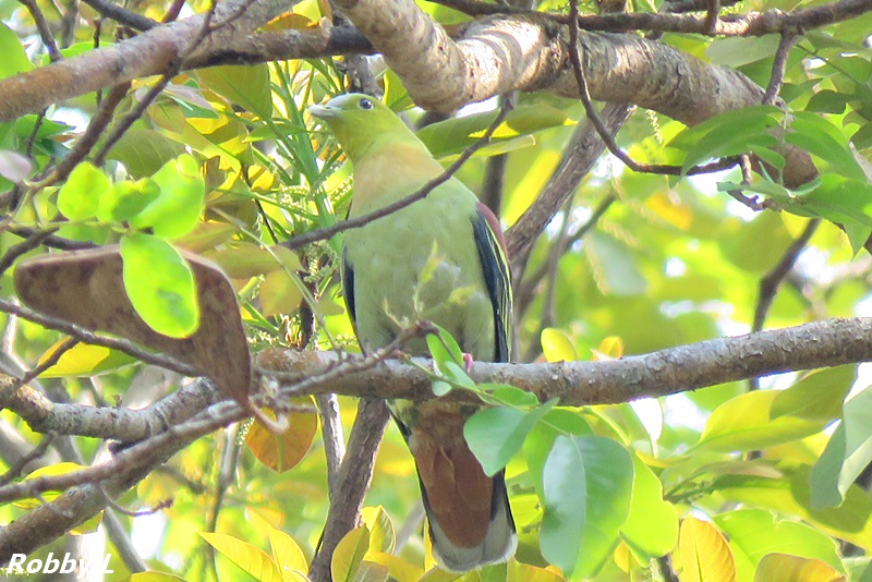Ashy-headed Green Pigeon.JPG