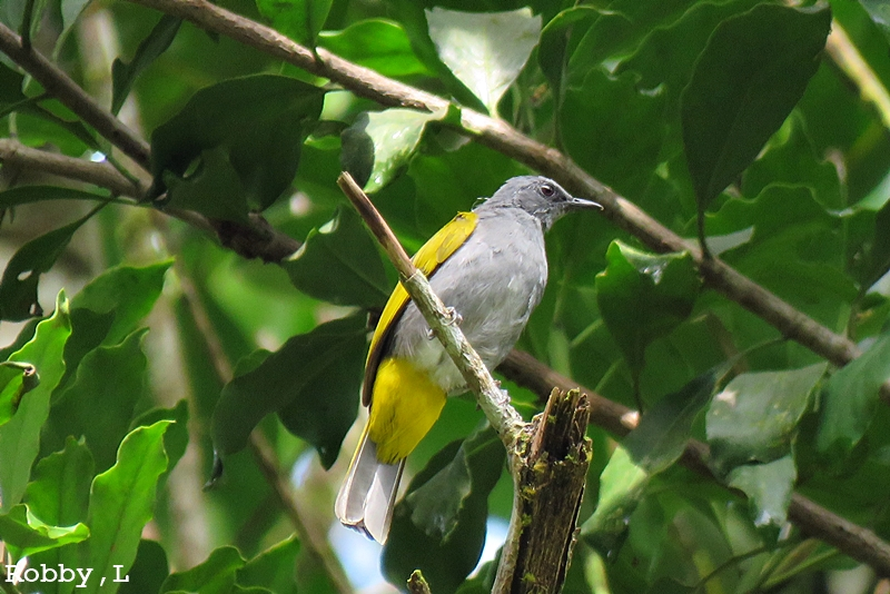 Grey-belliedBulbul_2018-06-08_2018-06-09.JPG