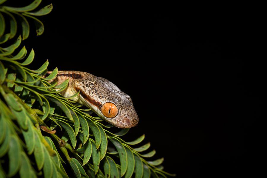 boiga-siamensis-siamese-cat-snake-head.jpg