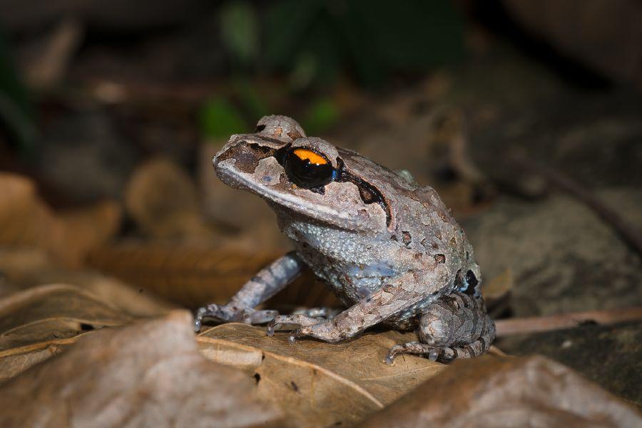 leptobrachium-smithi-smiths-litter-frog.jpg