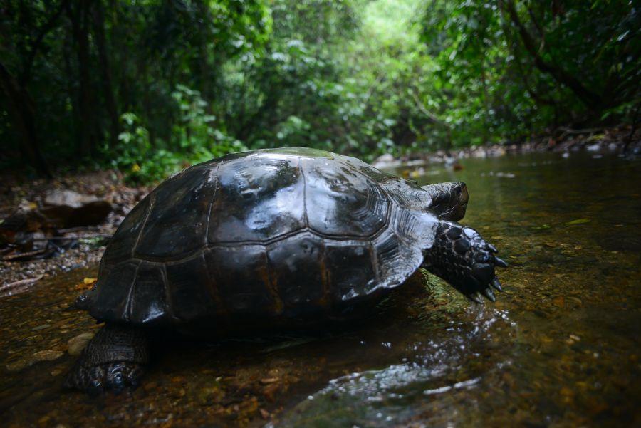 manouria-emys-asian-forest-tortoise.jpg