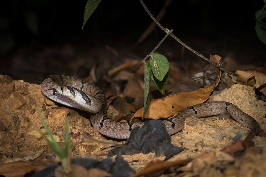 oligodon-fasciolatus-banded-kukri-snake.jpg