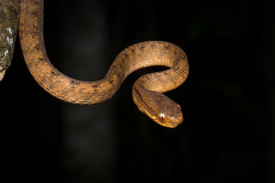 pareas-carinatus-keeled-slug-eating-snake2.jpg