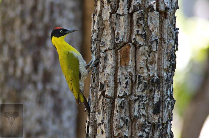 Black-headedWoodpecker.3.jpg