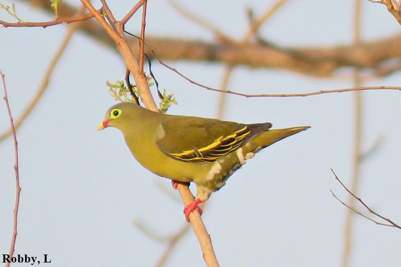 Thick-billed Green Pigeon.JPG