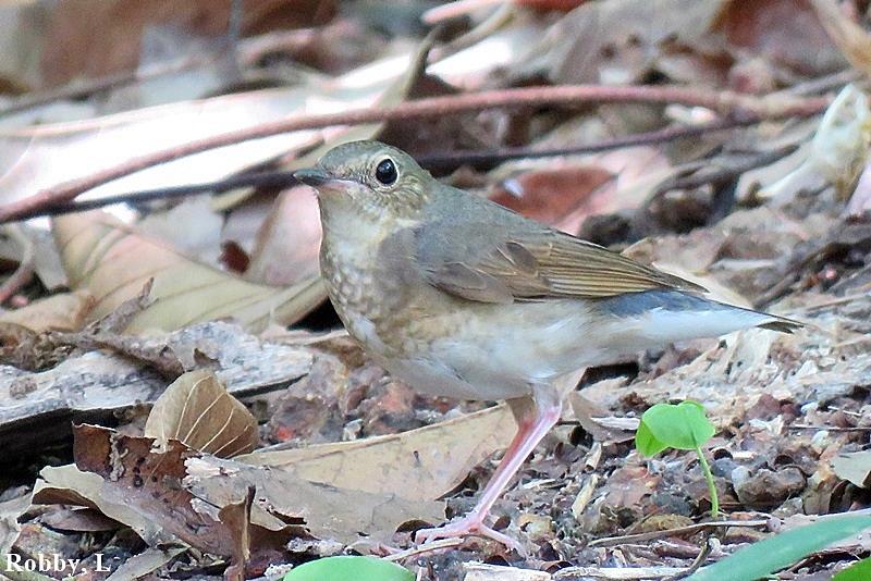 Siberian-blue Robin, femele.JPG