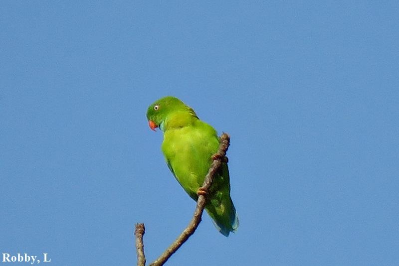 Vernal-hanging Parrot.JPG