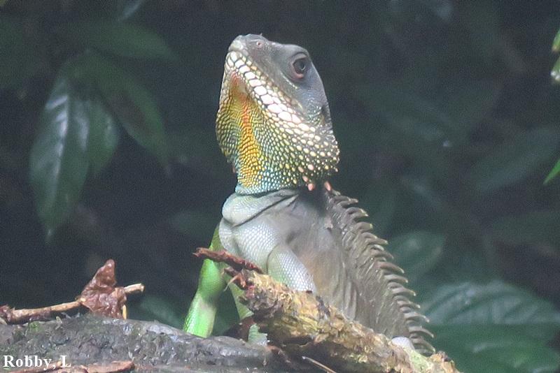 water dragon , head, male.JPG